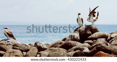 Blue-footed boobies, Galagapos Islands, Ecuador - stock photo