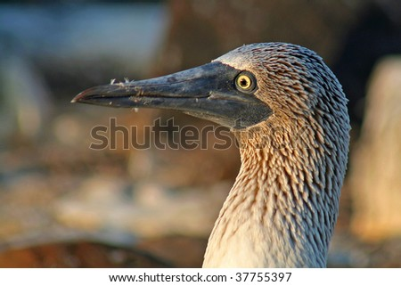 Blue-footed booby close-up, Española Island, Galapagos - stock photo