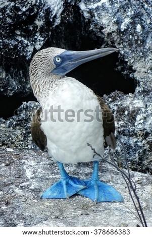Blue footed booby, Ecuador. - stock photo