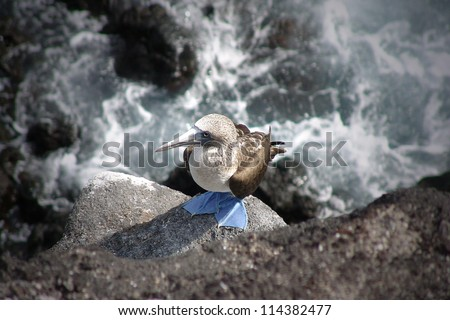 blue-footed booby, galapagos - stock photo