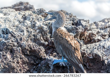 Blue Footed Booby in the Galapagos Islands with its mouth open - stock photo