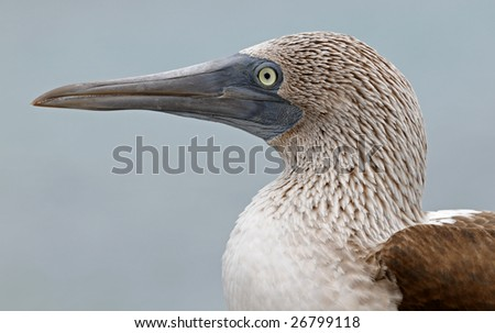 Blue-footed booby portrait - stock photo