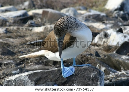 Blue Footed Booby, Sula nebouxii, checking out his feet on the Galapagos Islands - stock photo