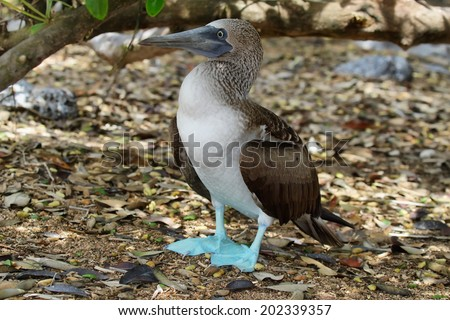 Blue-footed Booby (Sula nebouxii), Eastern Pacific subspecies, Galapagos. - stock photo