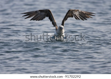 Blue-footed Booby (Sula nebouxii excisa) taking flight from the waters off of Rabida Island, Galapagos. - stock photo