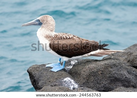 Blue-footed booby (Sula Nebouxii), North Seymour Island, Galapagos Islands, Ecuador - stock photo