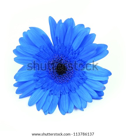 blue gerbera flower isolated on white background - stock photo