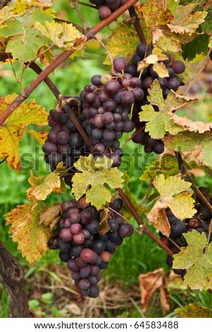 Blue grape grows with yellow sheet and grape manhole - stock photo
