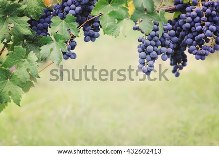 blue grape in harvesting time - stock photo