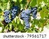 blue grape, La Rioja, Spain - stock photo