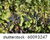 Blue grapes hanging from a vine - stock photo
