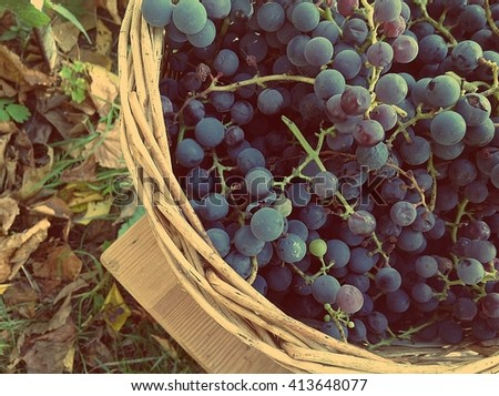 Blue grapes in the garden. Wicker basket. Harvest of grapes. - stock photo