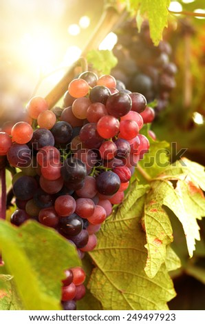 Blue grapes on vine over bright background - stock photo