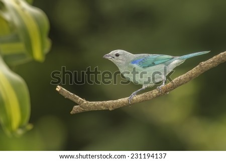 Blue-gray Tanager perched on a branch in Costa Rica. - stock photo
