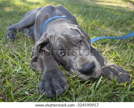 Blue Great Dane puppy on the grass that looks like it has a lazy eye - stock photo