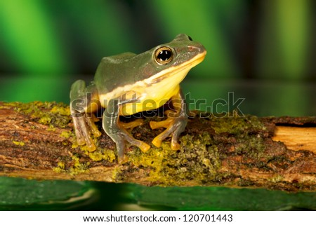 Blue green tree frog - stock photo