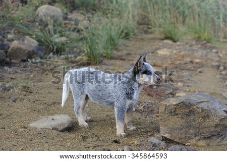 Blue Heeler. Australian cattle dog puppy aged twelve weeks - stock photo
