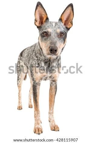 Blue Heeler puppy isolated on white - stock photo