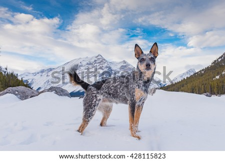 Blue Heeler Puppy playing in the snow in the mountains in winter, Kananaskis Country Alberta Canada - stock photo