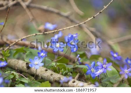 Blue hepatica in full blossom - stock photo