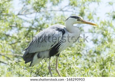 Blue heron - stock photo