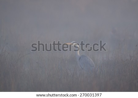 Blue heron in the fog  - stock photo