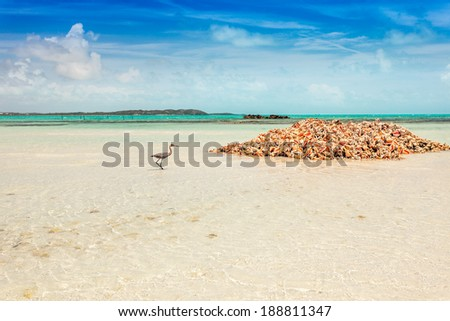 Blue Heron looking for conch scraps in a pile of empty conch shells, Providenciales, Turks and Caicos - stock photo