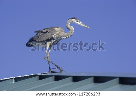 Blue Heron on the roof of a fishing pier. - stock photo