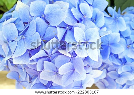 Blue hyacinth flowers - stock photo