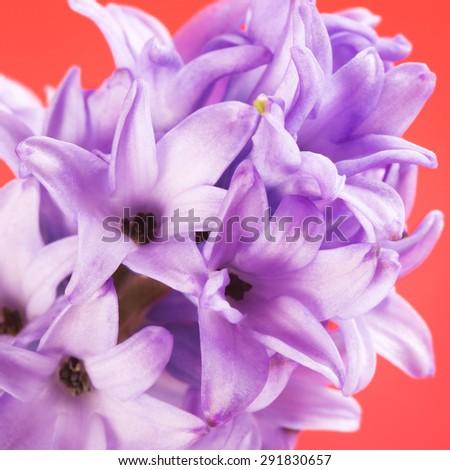 blue hyacinth on pink background, macro shot - stock photo
