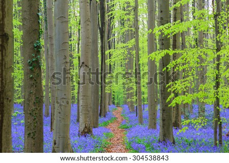 Blue hyacinths are blooming forming a blue carpet in a forest of Hallerbos, Brussels - stock photo