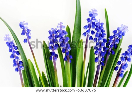 blue hyacinths blooming in spring - stock photo