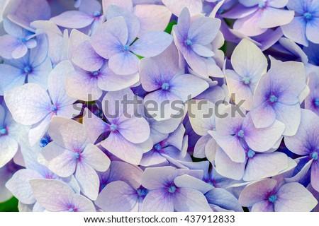 Blue hydrangea flora background. - stock photo
