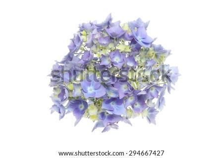 Blue Hydrangea flower head isolated against white - stock photo