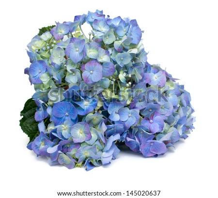 blue hydrangea flower isolated on white background - stock photo