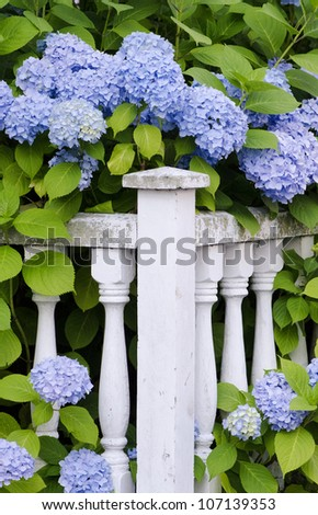 Blue hydrangea frame an old wooden fence. - stock photo