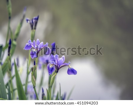 Blue Iris flower with water drop in close up by lake - stock photo