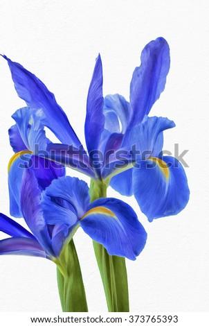 Blue iris flowers isolated against white background,photo art - stock photo