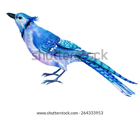 blue jay bird, very detailed zoological illustration in watercolor. beautiful feathers of exotic singing bird, with long striped tail. jaybird, - stock photo