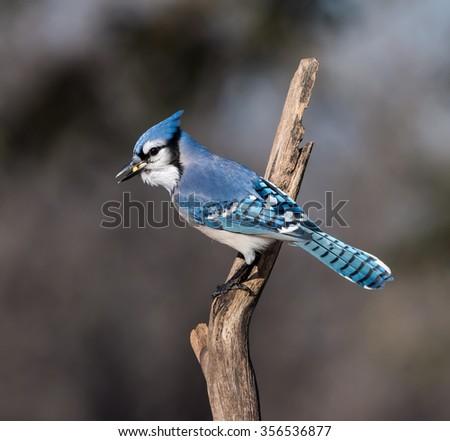 Blue Jay Eating Peanuts  - stock photo