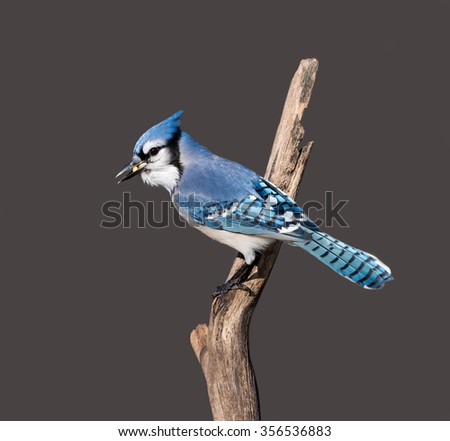 Blue Jay Eating Peanuts on Dark Brown Background - stock photo