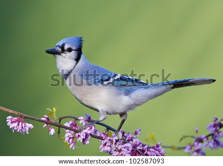 Blue Jay on Eastern Redbud, side view - stock photo