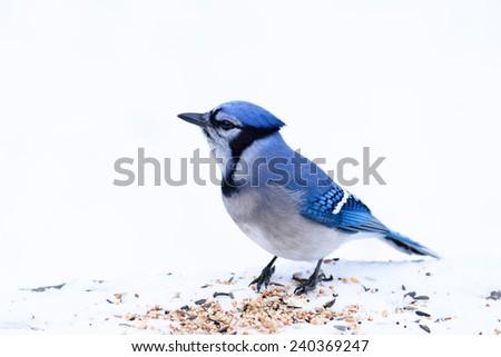Blue Jay on White - stock photo