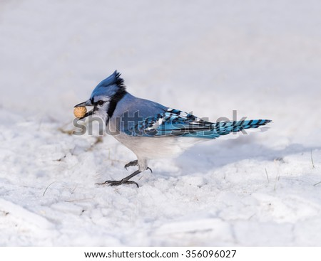 Blue Jay Perched on Snow and Holding a Peanut in Winter - stock photo