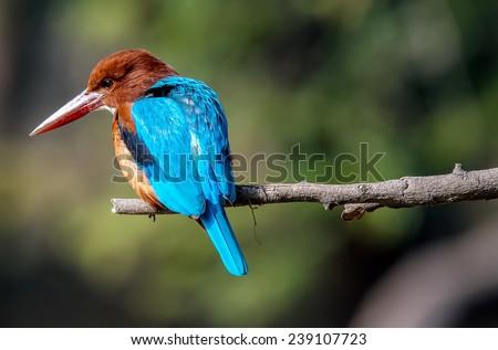 blue Kingfisher bird, on a branch, beak left - stock photo