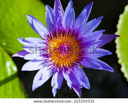 Blue lotus on the pond - stock photo