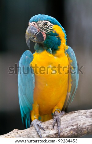 Blue macaw called Blue throated macaw on perch - stock photo