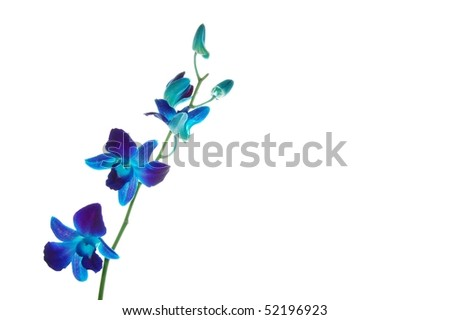 Blue Malaysian Orchids Isolated on White - stock photo