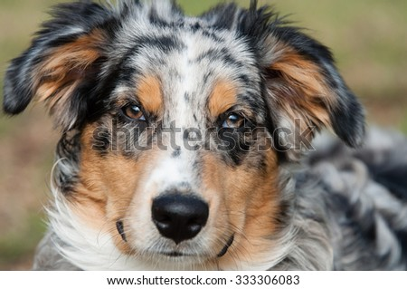 Blue Merle Aussie - stock photo