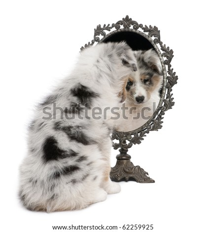 Blue Merle Australian Shepherd puppy, 10 weeks old, looking at reflection on mirror in front of white background - stock photo